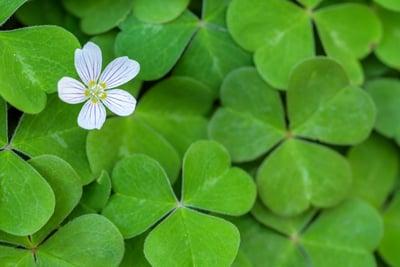 shamrocks-with-flower-