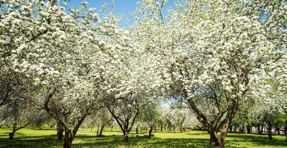 spring blossom trees-552761569